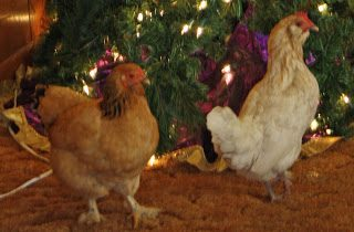 Adventures in the Country :: Chickens under the Christmas Tree