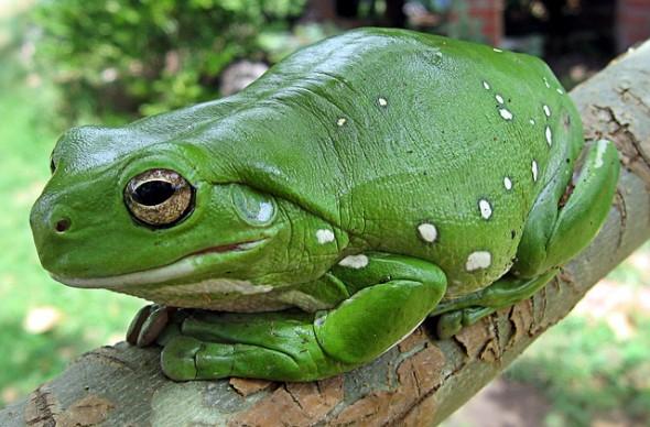 finger-coral-tree-frog-62889_640