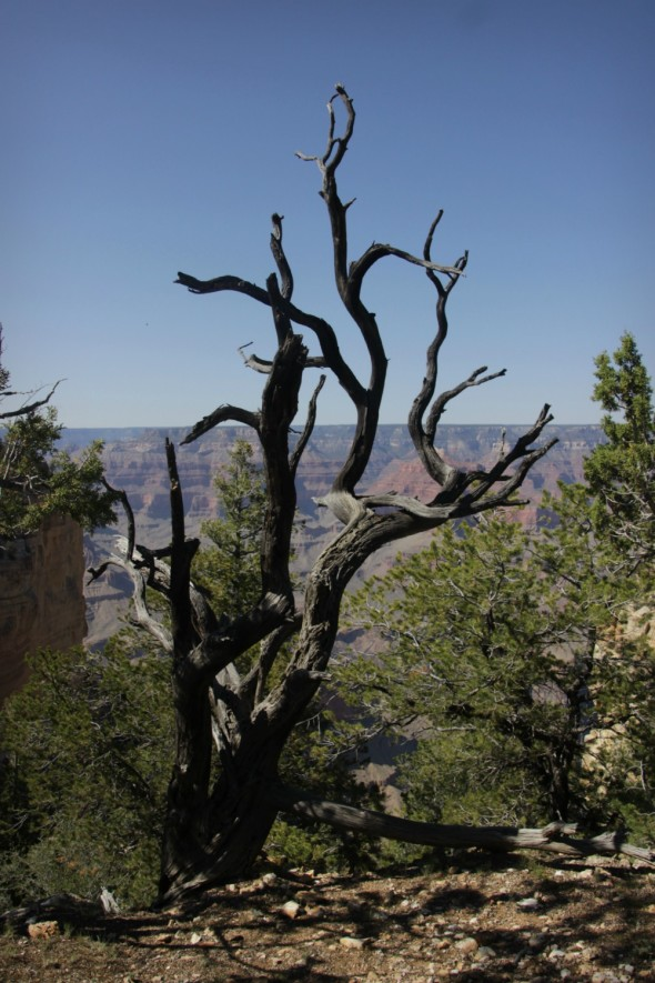 Crooked Tree Grand Canyon