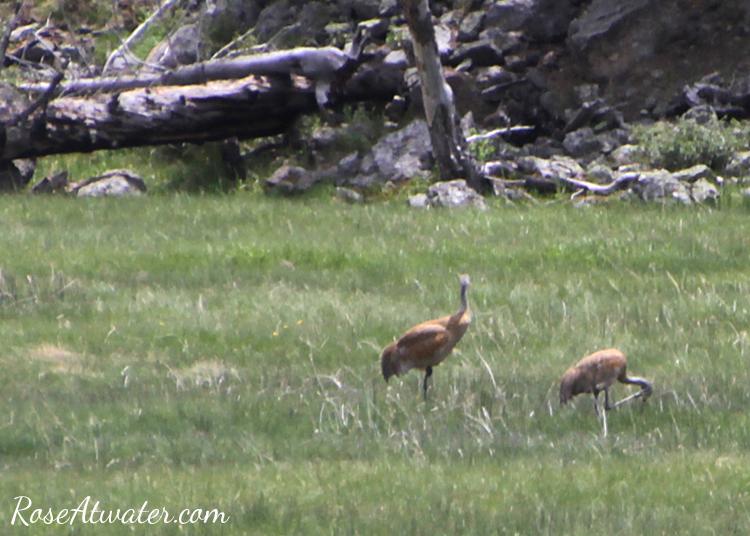 Birds at Yellowstone