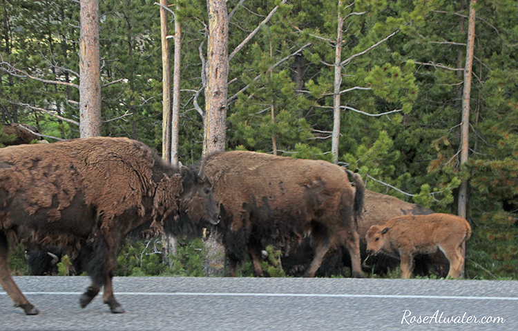 Bison Shedding and with Calves