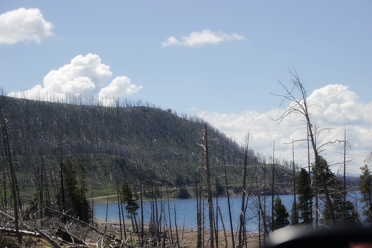 Dead Trees from Fire in Yellowstone