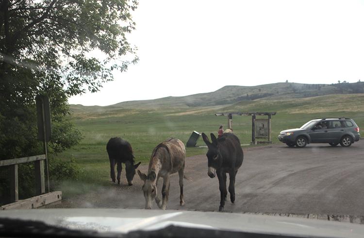 Donkeys in Road