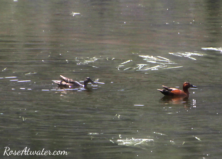 Ducks in the Madison River at Yellowstone