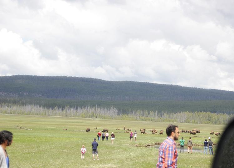 Tourists and Bison